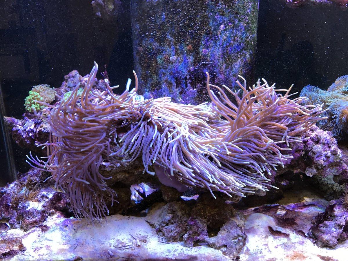 PurpleMagnifica2017091301.jpg
