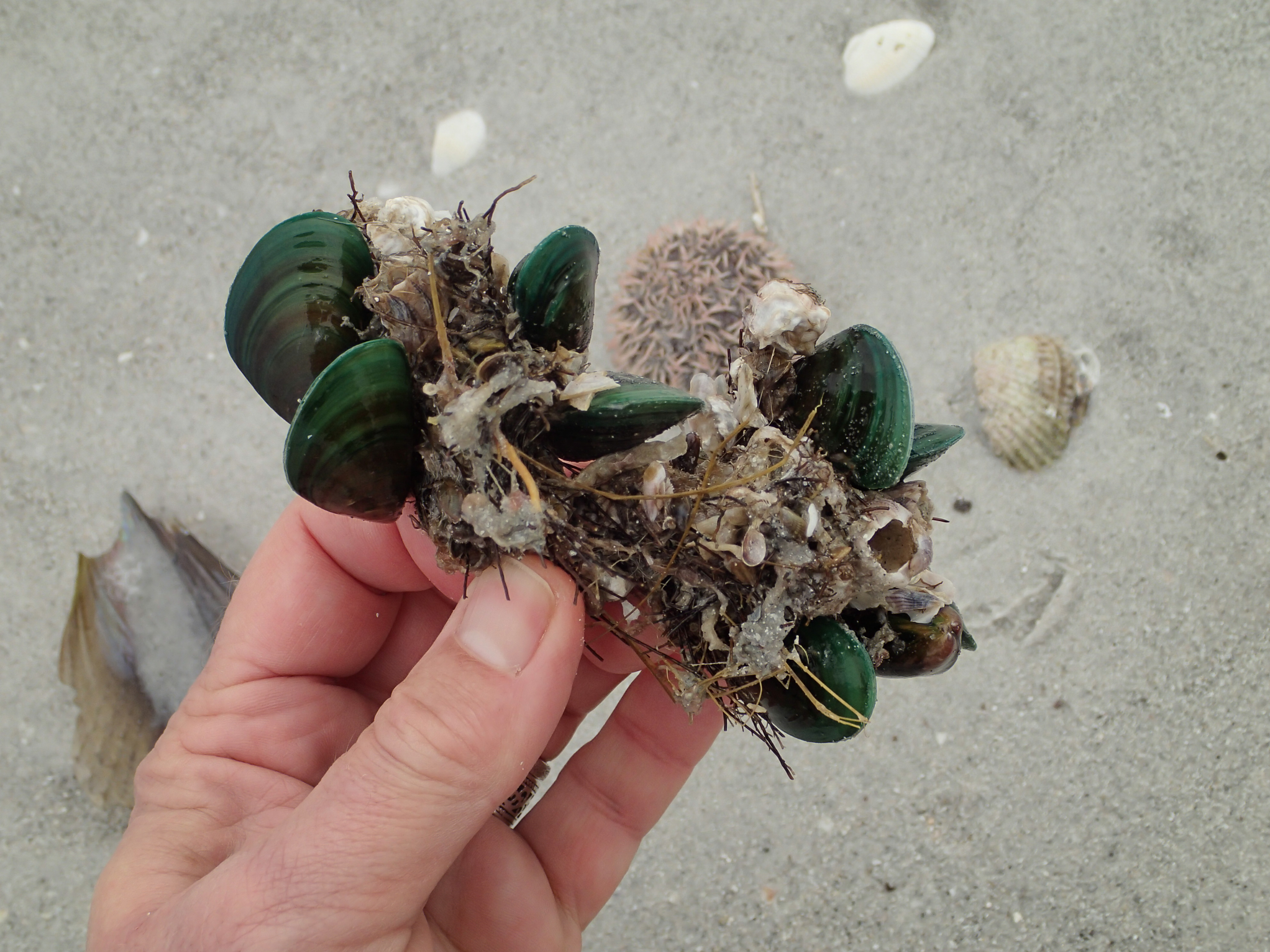 R2R3 invasive green clams from Asia.JPG