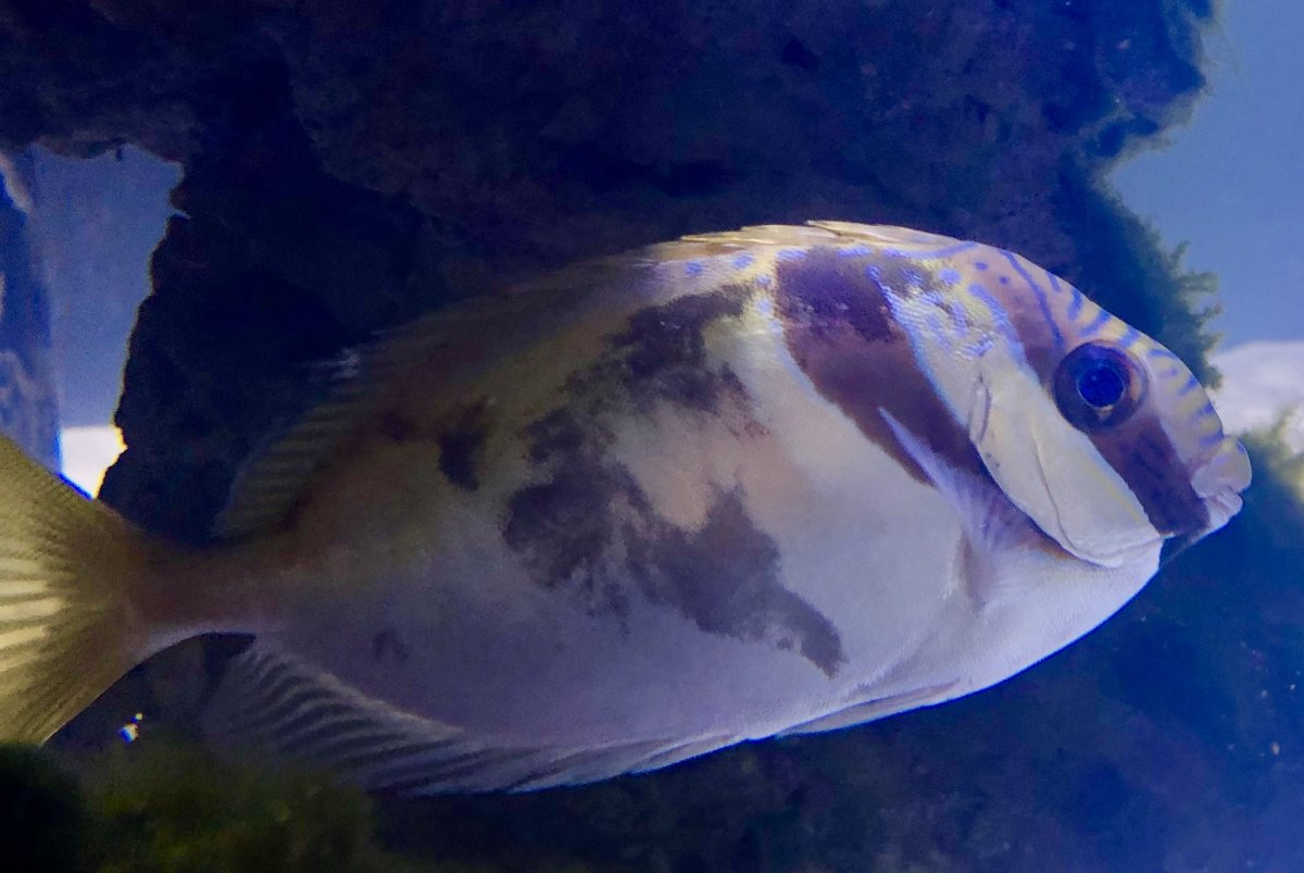 Rabbitfish Discoloration.jpg