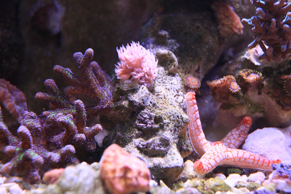 rare aquacultured gonipora matt geldof 120 gallon reef aquarium.jpg