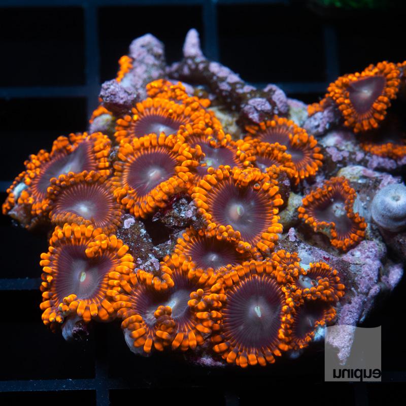 Red Tarantula Colony 79 52.jpg