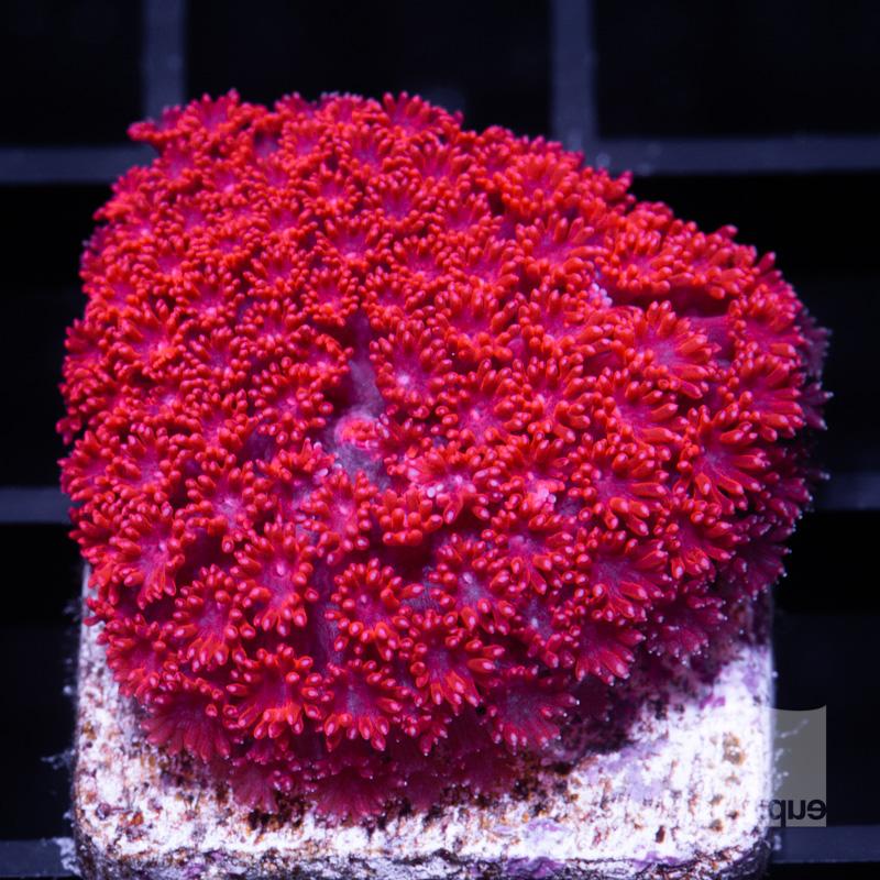 Red Wave Goniopora 109 72.jpg