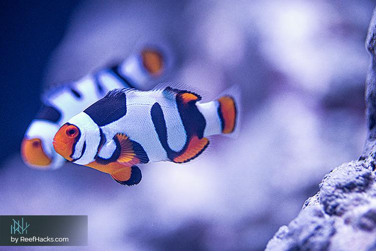 ReefHacks_Picasso_Clownfish_001.jpg