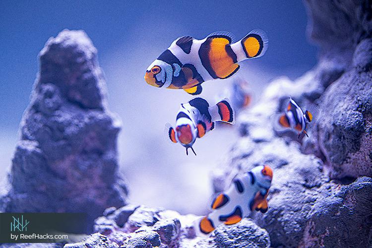 ReefHacks_Picasso_Clownfish_002.jpg