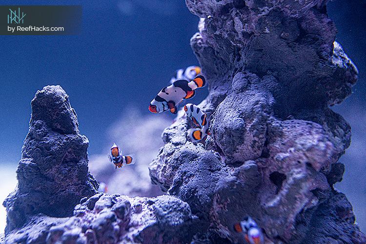 ReefHacks_Picasso_Clownfish_003.jpg