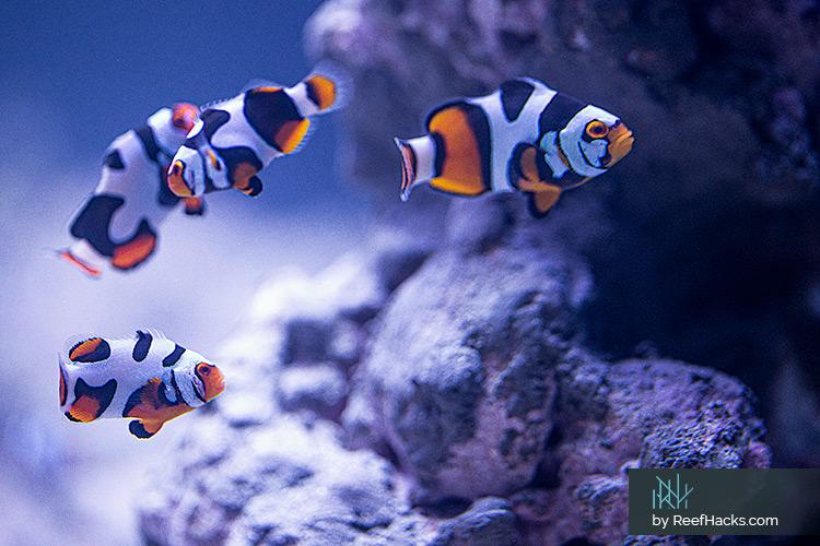 ReefHacks_Picasso_Clownfish_004.jpg