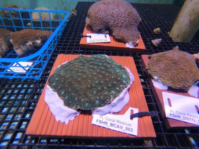 rescued coral4.jpg