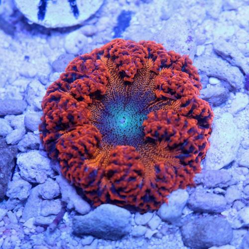 Rock Flower Anemone A1 59-44.jpg