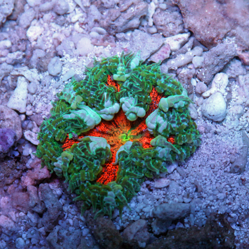 Rock Flower Anemone A9 59-44.jpg