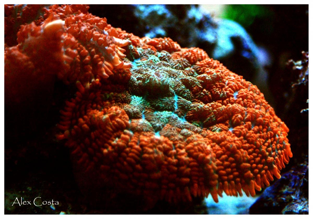 rodhactis-redgreen1.jpg
