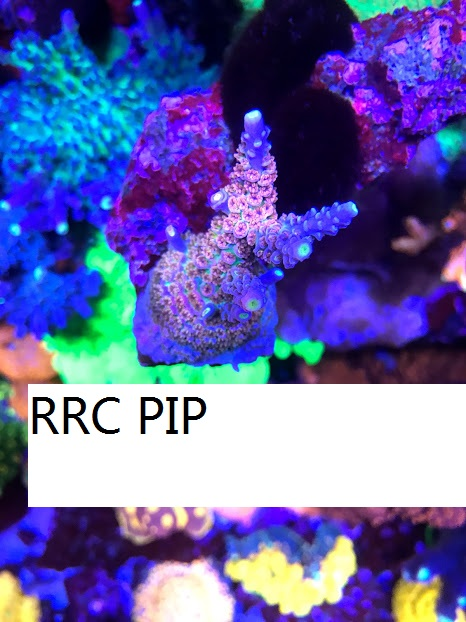 RRC PIP.jpg