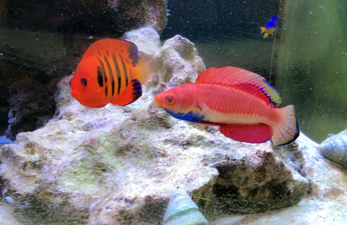 Information requested regarding Sailfin Fairy Wrasse, a new species ...