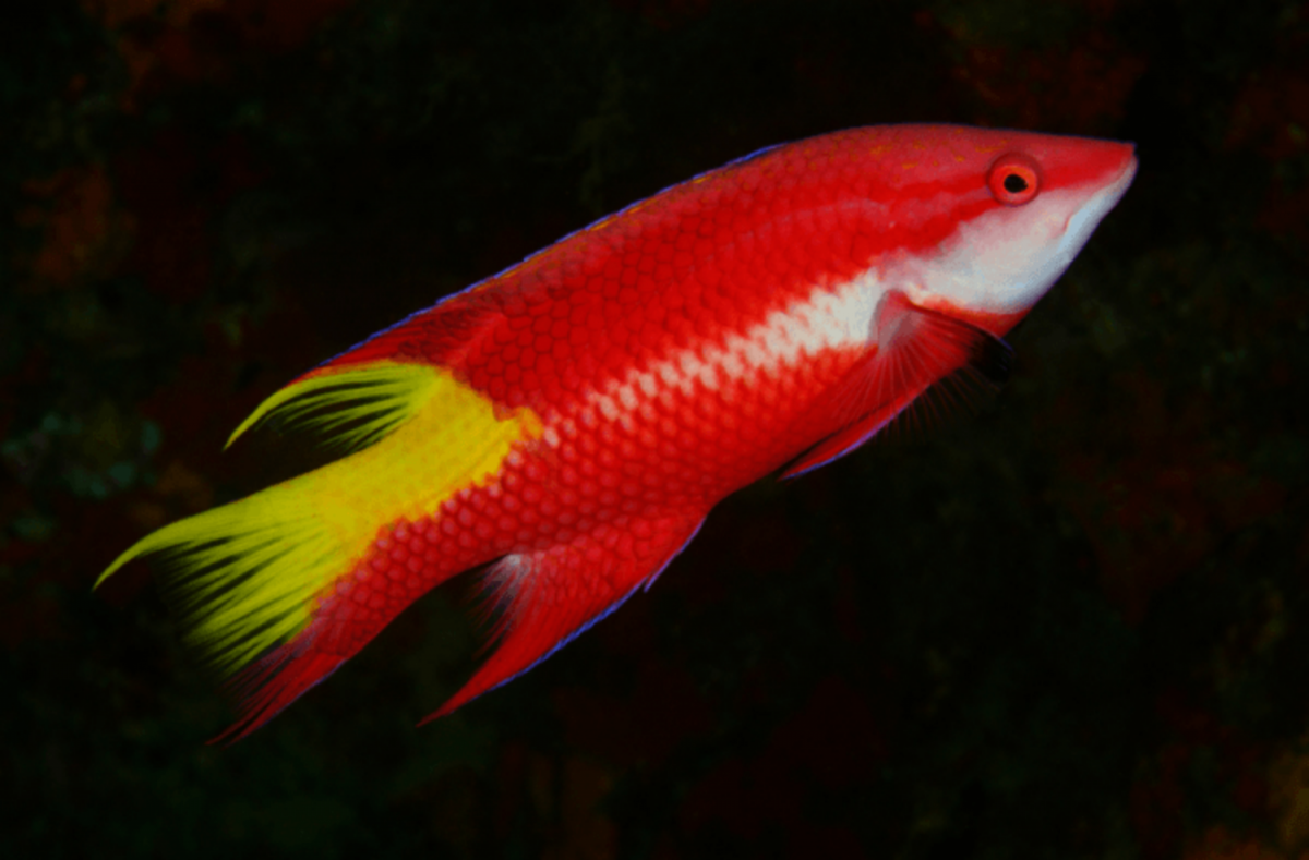 Screenshot 2021-09-30 at 14-48-18 Cuban Hogfish For Sale (Bodianus pulchellus) TOP Care facts ...png