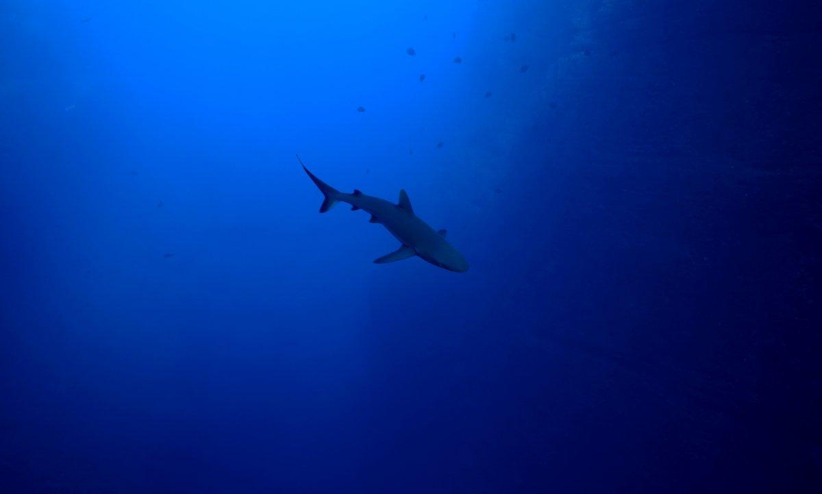 Shark Sillouette.jpg