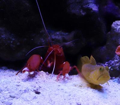 shrimp goby.jpg