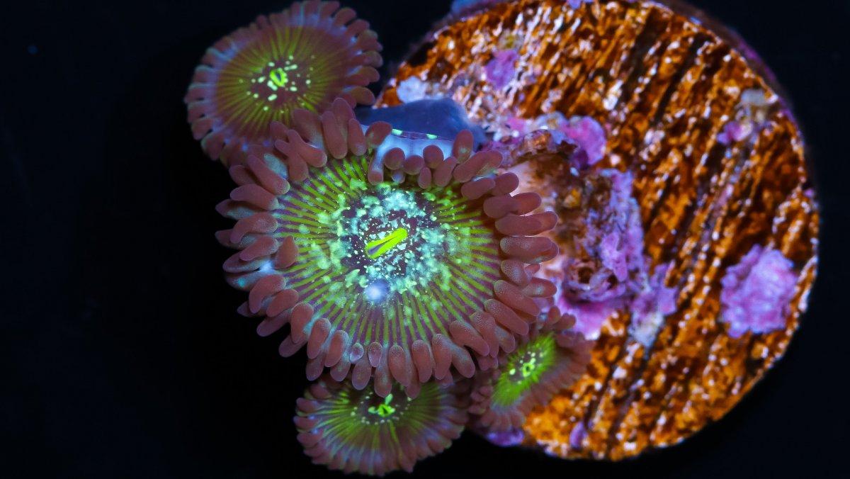Speckled Hawaiian Paly.jpg