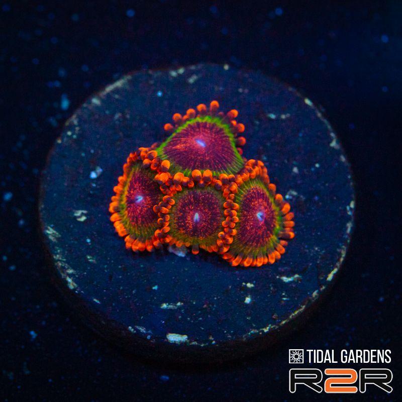 Speckled Krakatoa $95.jpg