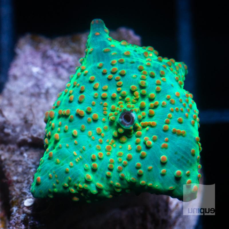 Speckled Mushroom 49 26.jpg