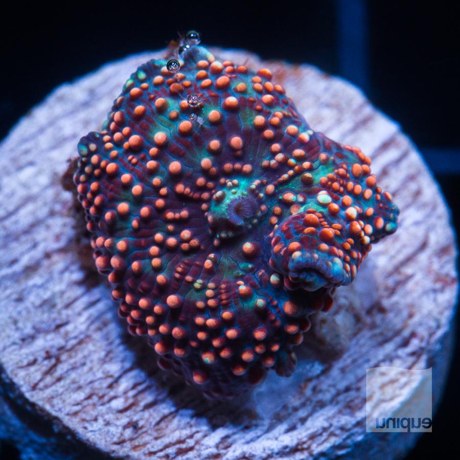 speckled mushroom 58 32 (1).jpg