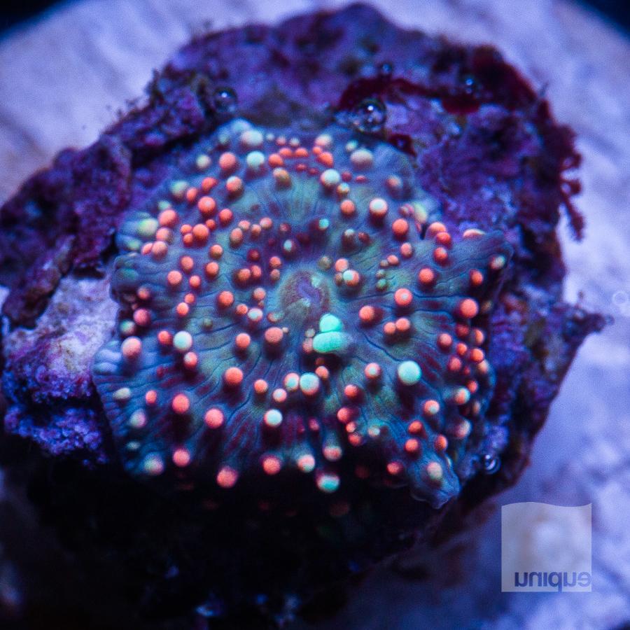 speckled mushroom 58 32.jpg