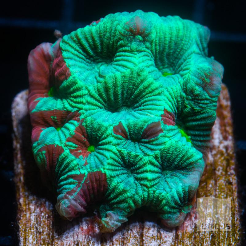 Splattered War Coral 39 22.jpg