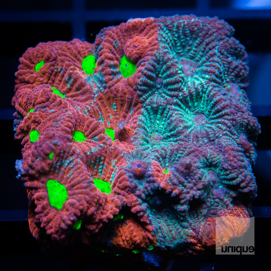 split war coral 44 32.jpg