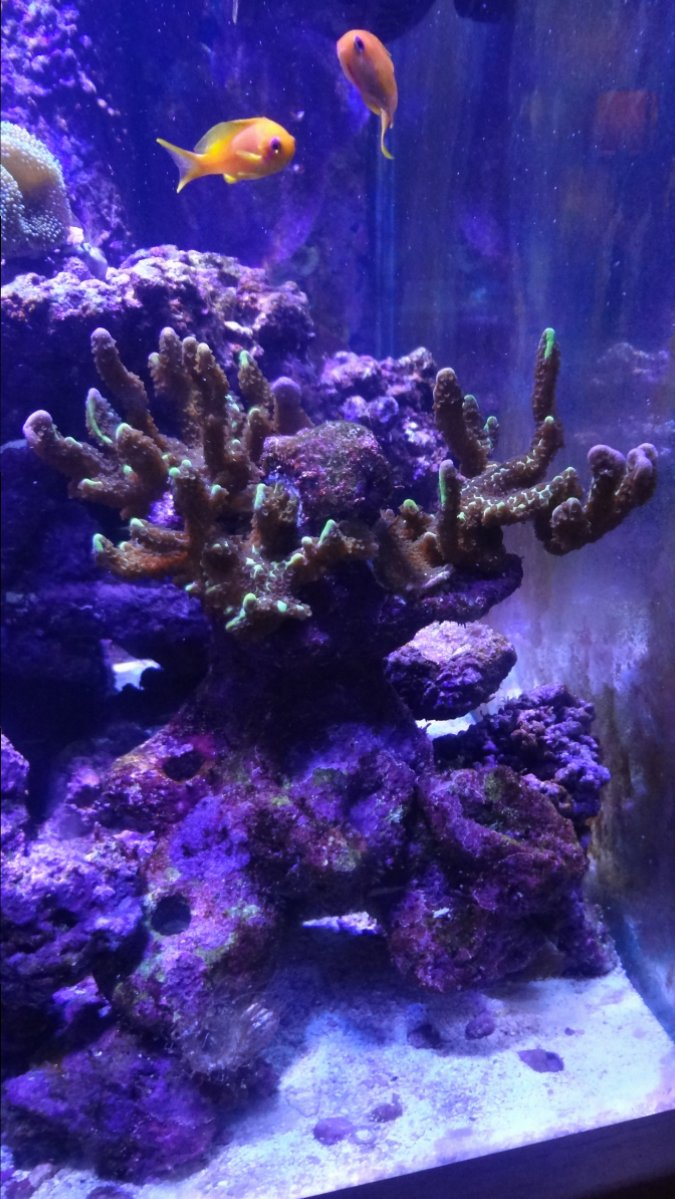 Spongodes Montipora Bonsia Coral.JPG