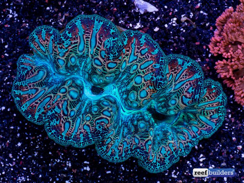 tridacna-crocea-clam-mandarin-2.jpg
