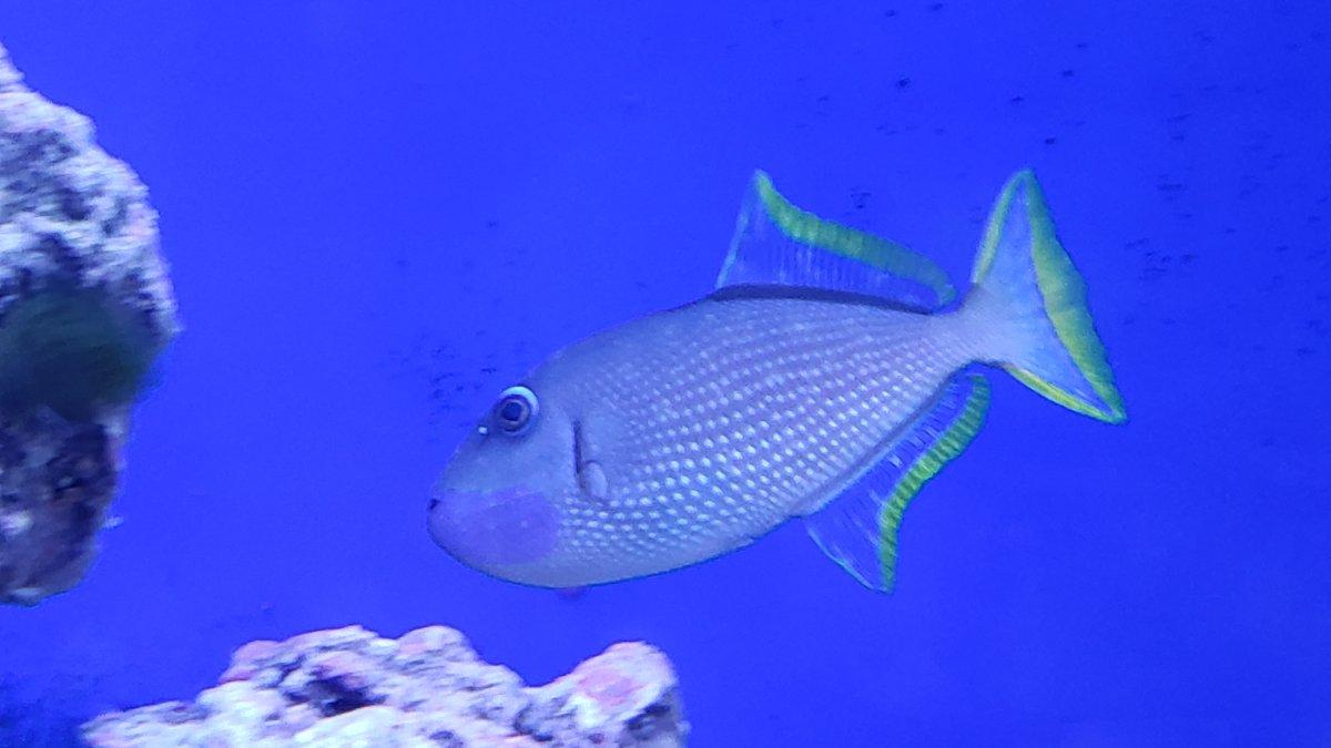 Trigger Fish Velvet.jpg