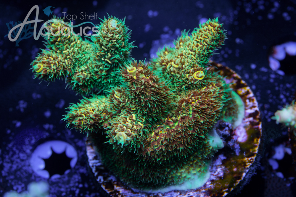 pre macna coral sale     sps and zoas including  new