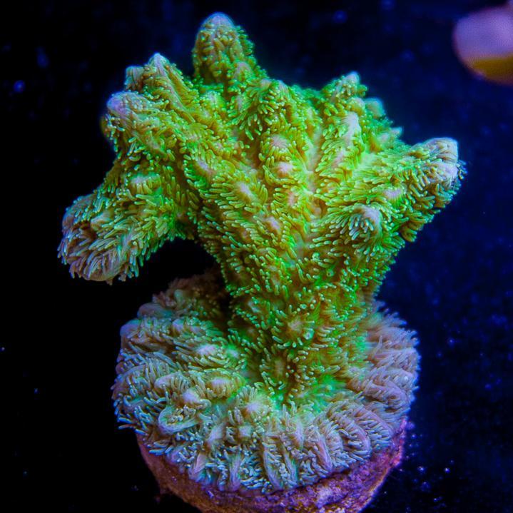 UC2inch-maricultured-aussie-hydnopora-42.jpg