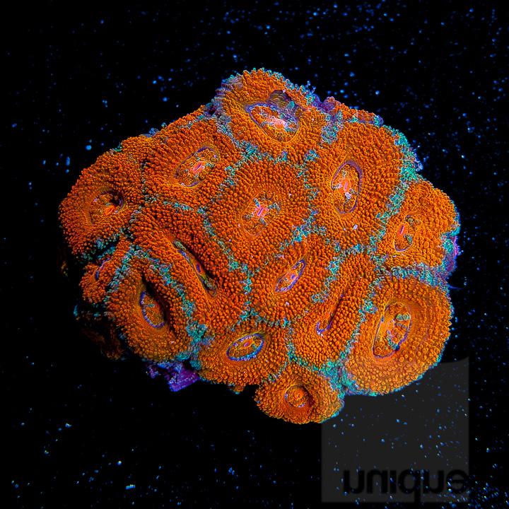 UC2inch-ultra-orange-acan-colony-148.JPG