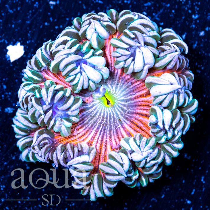 Ultra Rock Flower Anemone - Retail Price $99, SALE PRICE $47.jpg