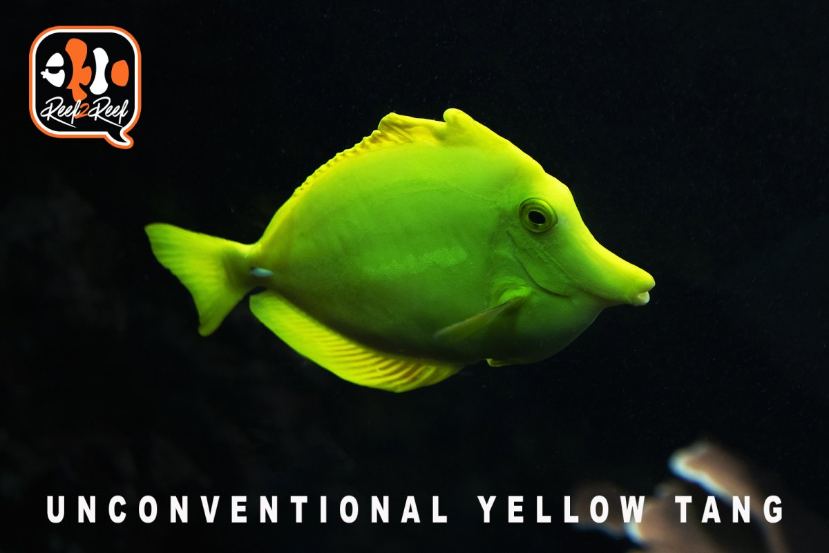 unconventional yellow tang.jpg