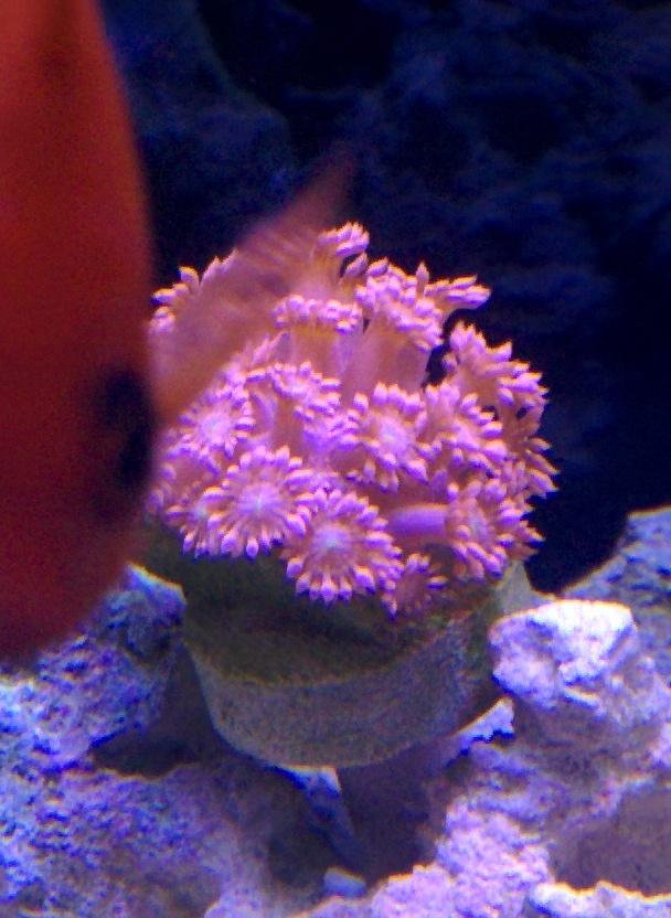 Goniopora flower pot coral show off thread page 4 reef2reef goniopora flower pot coral show off thread mightylinksfo Choice Image