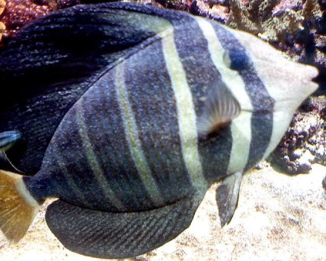 velvet Reefahholic.jpg