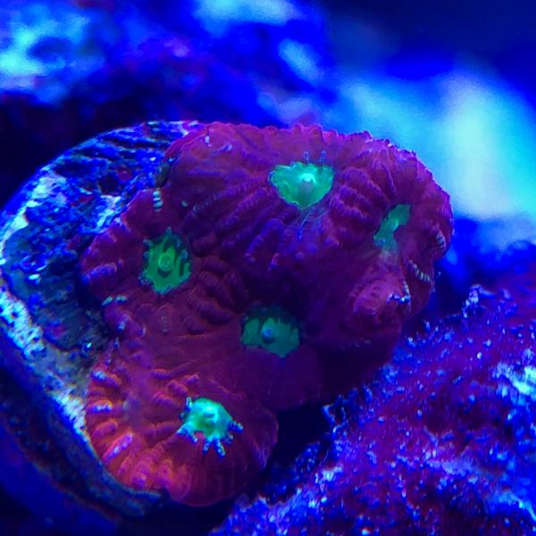 war coral.jpg