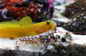 watchman goby_pistol shrimp.jpg