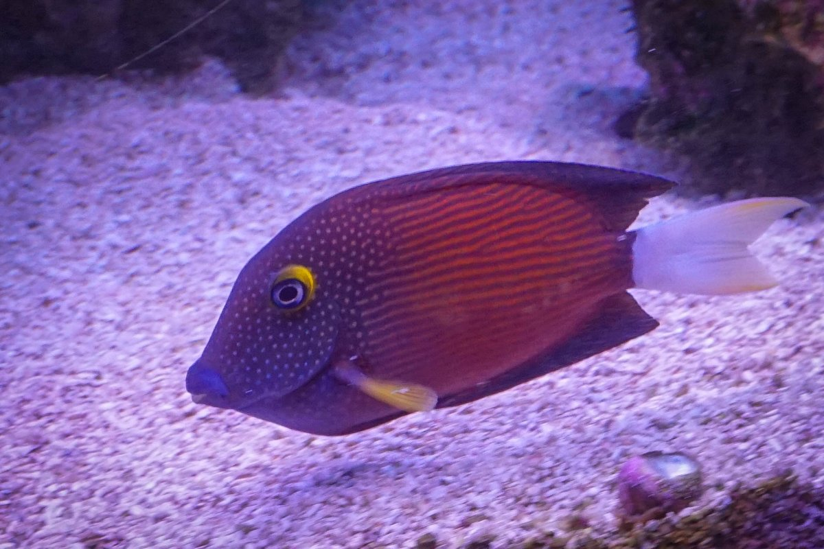 White Tailed Bristle Tooth Tang.jpg