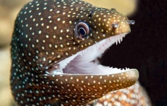 Whitemouth_Moray.jpg