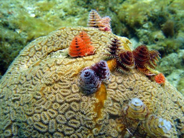 Christmas Tree Worms | Page 3 | REEF2REEF Saltwater and ...