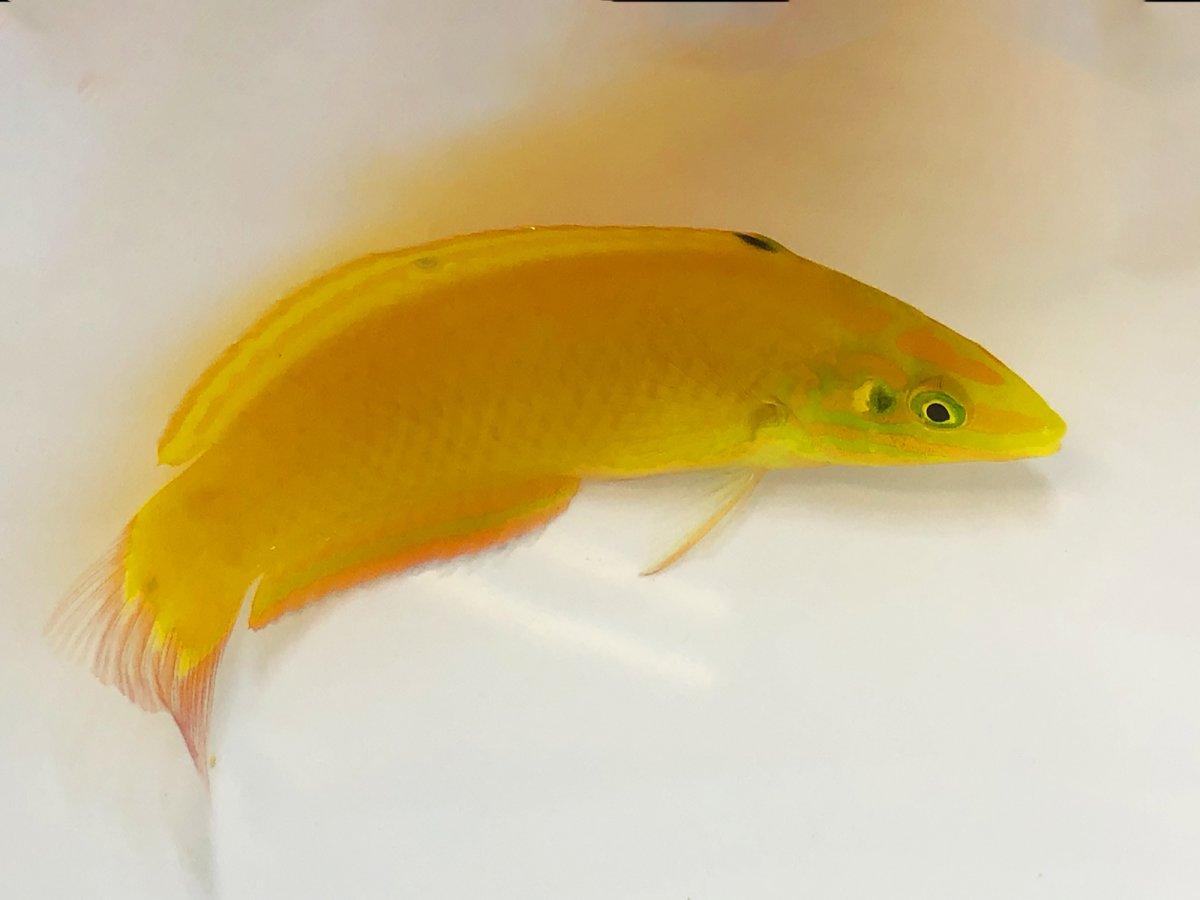 Yellow C LG.jpg