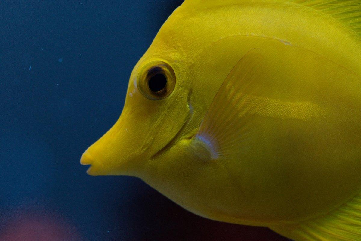 Yellow Tang Small.jpg