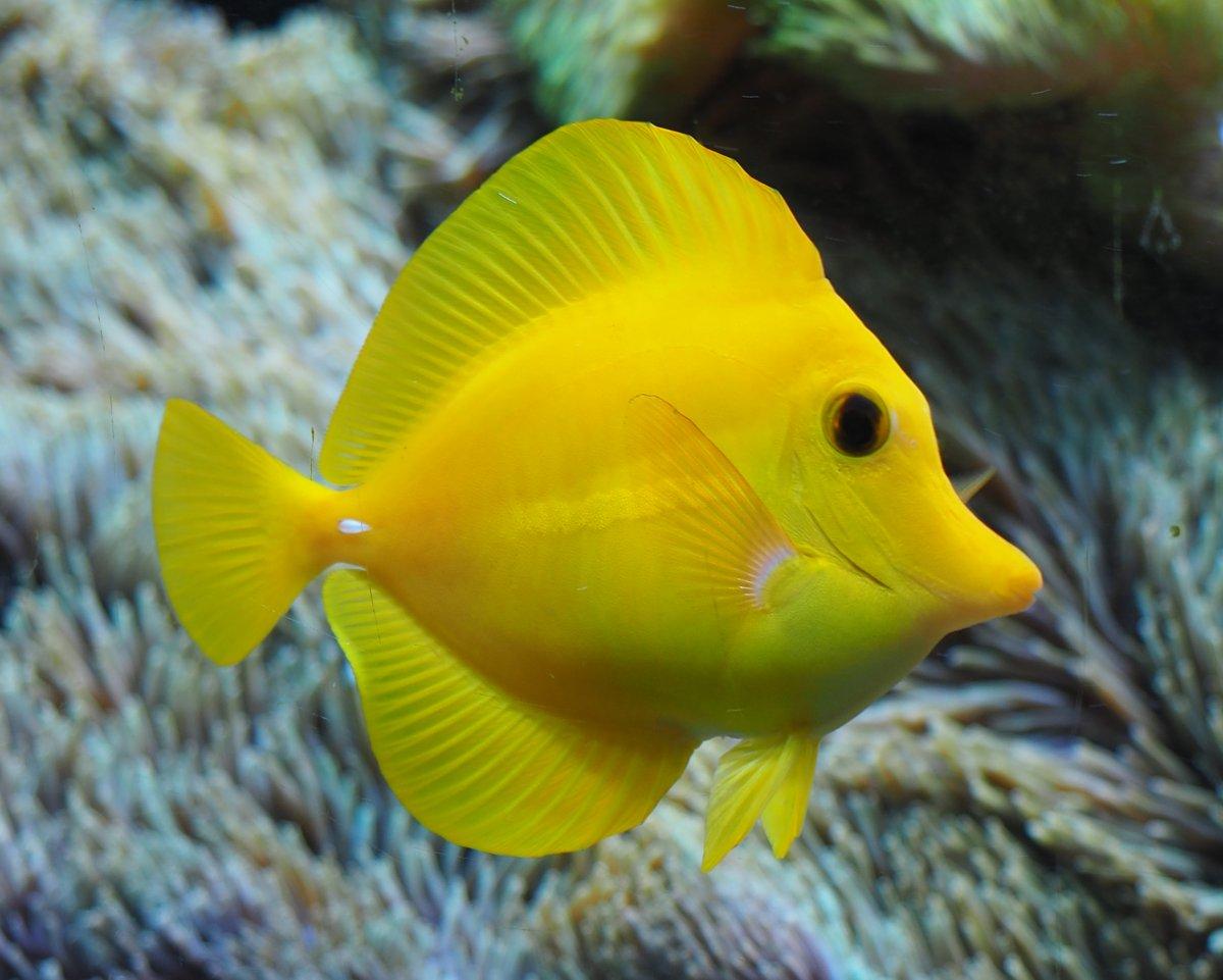 YellowTang2019052801.jpg