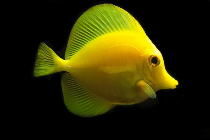 yellowtang_1_720x.jpg