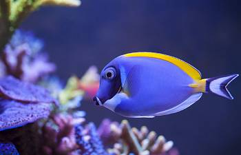 Ich And Acanthurus Tangs Years Of Experience And Ich