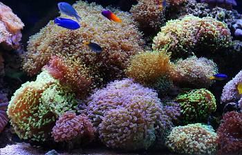 Easy Breezy Beautiful Euphyllia Reef2reef Saltwater