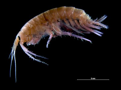 Amazing Amphipods
