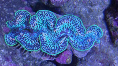My Ultra Blue Maxima Clam (top view).JPG