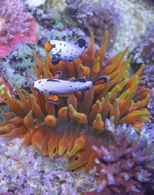 Terrific Tentacles: A Beginner's Look at Anemones for the Reef Aquarium